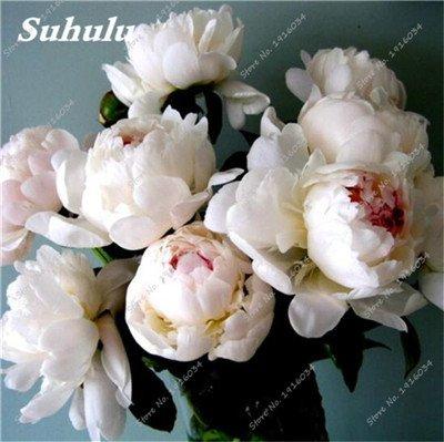 10 Pcs Pivoine graines, semences Potted extérieur, Bonsai Flower Seed, Variété complète, facile à cultiver, d'ornement-plantes pour jardin 1