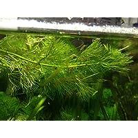 Portal Cool 1 manojo Crecido orgánico mixto plantas de la charca del acuario de malezas todo el año Oxigenación