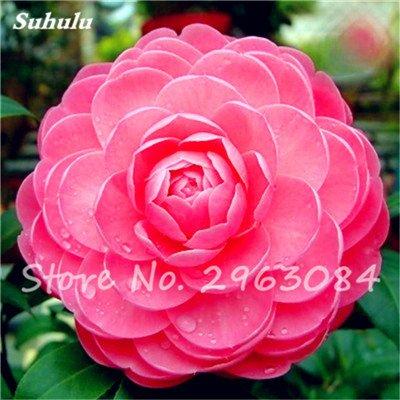 5 pièces rares Graines arc-en-Camellia fleurs, plantes en pot de bricolage, Lumière Parfumée intérieur Fleur, intérieur Bonsai planter des fleurs Semences 8