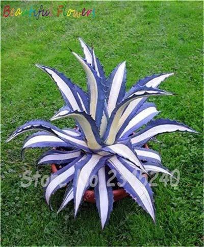 Prime vista 100 pz/borsa bonsai fiore pianta agave bonsai, raro succulente bonsai perenne fioritura agave pot piante per la casa giardino decor: 17