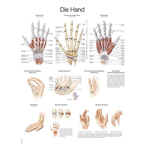 """Lehrtafel """"Die Hand"""", deutsch/englisch, 50x70cm, Kunstdruckpapier"""