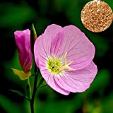 1000pcs Auffälliges rosa Nachtkerze Oenothera Odorata Blumensamen