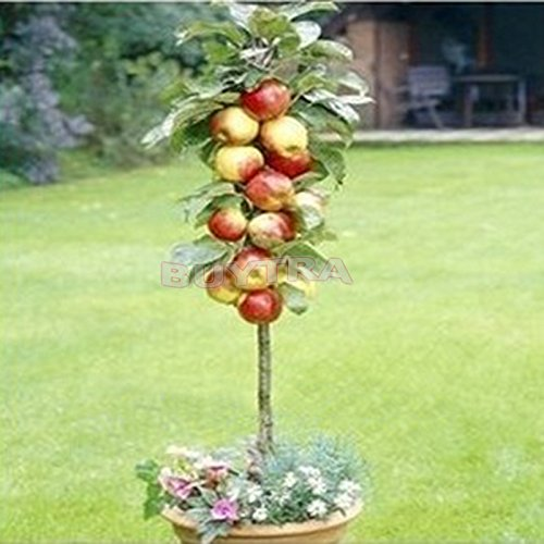 bestim-incuk-20-piezas-por-bolsa-de-bonsais-manzana-arbol-semillas-jardin-plantas-semillas-de-frutas
