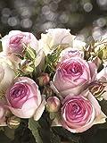 Romantica Rose Eden Rose 85 wurzelnackt