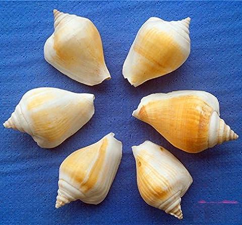 K&C Sea Shells 10 Stk