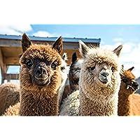Jochen Schweizer Geschenkgutschein: Alpaka Wanderung
