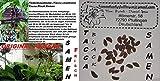 6 x Tacca Negro Tigre Planta Murciélago Flor Semillas Centro de atención RARO Jardín Fresco Original Semillas #250