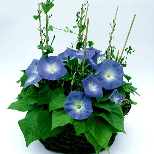 Morning Glory Climber (Plant World Seeds - Ipomoea 'Clarke's Heavenly Blue' Seeds)