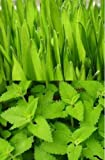 ONE PACK OF CATNIP SEEDS ONE PACK OF CAT GRASS SEEDS