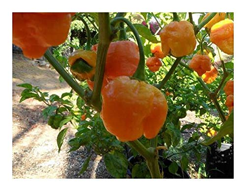 Chili Trinidad Yellow Moruga Scorpion - piment - 10 graines
