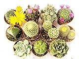 PIANTE GRASSE VERE RARE 11 PIANTE PICCOLE 5,5 VASO COLTIVAZIONE con spine SUCCULENTE MINI SET PRODUZIONE VIGGIANO CACTUS