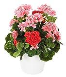 Closer 2 Nature FP028PRE künstliche Blumen Pelargonien in Rot und Rosa im Dekorativ Weißen Topf, 43 cm, mehrfarbig