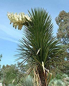 seedsown Winterhart! ~ Yucca filifera ~ ST anhand des PM-Baum SUCCULENTSTARTER