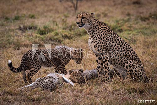 druck-shop24 Wunschmotiv: Cheetah Watches While Cubs eat Thomson Gazelle #233377977 - Bild auf Leinwand - 3:2-60 x 40 cm / 40 x 60 cm