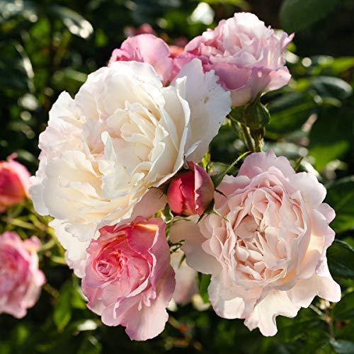 Qulista Samenhaus - Rarität 10pcs duftend Edelrose Strauchrose Herkule dichtgefüllt Beetrose Blüten in Lavendel-, Rosa- und Creme-Tönen, Blumensamen winterhart mehrjärhig im Beet