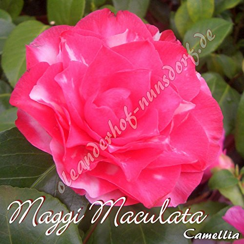 kamelie-maggi-maculata-camellia-gruppo-di-premio4