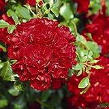 Rose Centro-Rose- Bodendeckerrose leuchtend roten Blüten - Kleinstrauchrose Pflanze Winterhart Halbschattig von Garten Schlüter - Pflanzen in Top Qualität