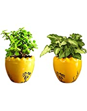 Rolling Nature Combo of Good Luck Live Jade and Green Syngonium Plant in Yellow Ruffel Aroez Ceramic Pot