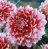 100 Pcs Dahlien Bio riesen faszinierende Balkonkasten-Blumenm winterhart mehrjährig dahlien Pflanze bulb exotische Blumensamen Sommer Blumen Samen (11)
