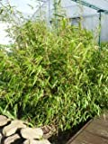3 Pflanzen Fargesia Rufa 30-40 cm Bambus