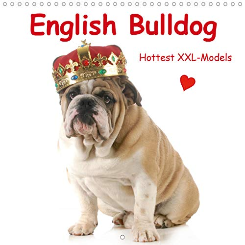 English Bulldog . Hottest XXL-Models (Wall Calendar 2020 300 × 300 mm Square): Hot Bulldog Models in High Fashion (Monthly calendar, 14 pages ) (Calvendo Animals)