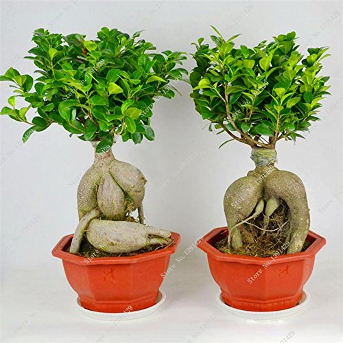 exotic bonsai banyan tree seed office desk ficus ginseng seed, perenne ficus microcarpa il germogliamento tasso 95% 10 pezzi