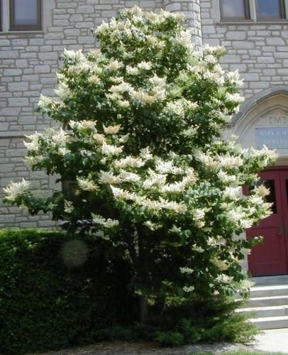 20 graines - Arbre japonais lilas, Syringa reticulata, Graines Arbre (Fast, odorant, Hardy)