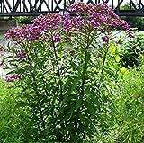 SANHOC Samen-Paket: 50 SeedsVera IronElegant Lila Blumen auf hohen Stielen -