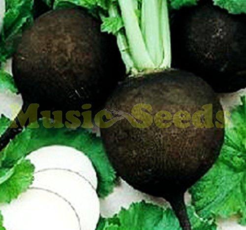 1bag = 200pcs vente chaude graines BLACK Radis CHINOIS DOUX NO-OGM des semences de légumes délicieux géant bonsaï maison jardin