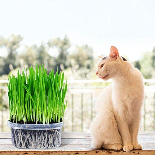 Bornbayb Confezione da 3 semi di erba gatta di grano saraceno (include vassoi, terra, semi di erba di grano)
