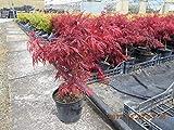 """ACERO ROSSO GIAPPONESE""""Acer Palmatum Dissectum Crimson Princess"""" vaso Ø 20"""