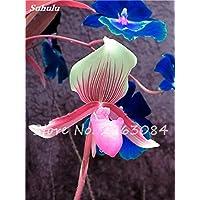 100 Pcs único Cymbidium Semillas Faberi plantas de flores jardín de flores semillas de orquídeas, orquídea Phalaenopsis Semillas de interior Bonsai Plant 24