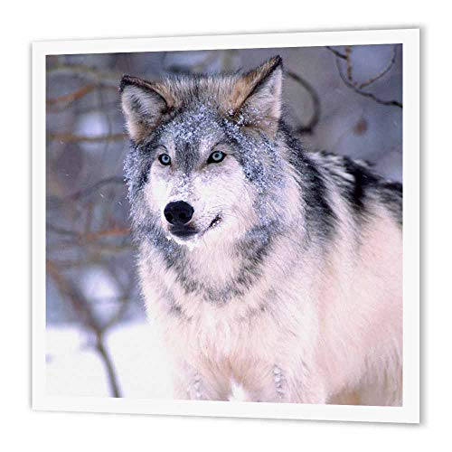 3dRose HT 83899_ 2Timber Wolf, Canis Lupus NA02dno0319David Northcott Eisen auf Wärmeübertragung für weiß Material, 6by 15,2cm