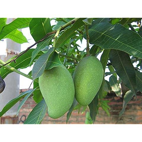 Promozione di vendita Vasi Fioriere frutta Semi Sementes 100pcs 1100% genuino fresco Ficus Carica semi Fig Albero da frutto