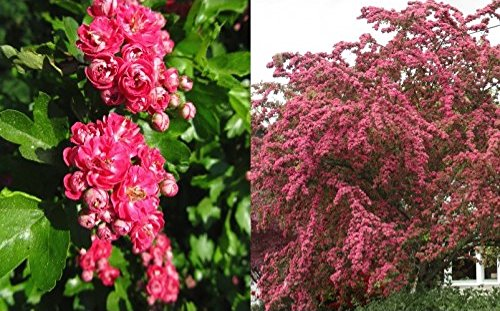 crataegus-pauls-scarlet-tree-5-6ft-supplied-in-a-75-litre-pot