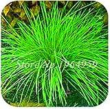 Pinkdose 100 Teile/beutel Bunte Schwingel Gras Bonsai Indoor Garten Festuca Mehrjährige Winterharte Zierpflanzen Einfach Wachsen Bonsai Sementes: 13