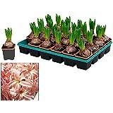Bandeja de 24 Bulbos de Jacinto de Color Naranja Plantas Naturales Hyacinthus