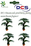 DCS (085) 4 Dracaena seeds, potted balco...