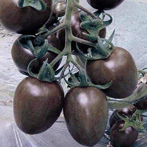 AGROBITS tomates cerise noire semences Balcon fruits Bonsai Accueil Plant de tomate en pot Graines Fruits Légumes 100 graines/paquet