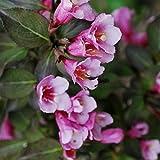 Müllers Grüner Garten Shop Weigelie, Glöckchenstrauch, Weigela florida `Purpurea` dunkelrosa blühend, 30-50 cm, im 3 Liter Topf