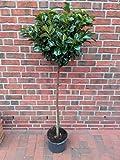Kirschlorbeer Hochstamm - Prunus Rotundifolia, Höhe: 170-180 cm, immergrün