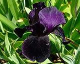 Iris germanica Black Swan - Bearded Iris, Plant in 9cm Pots