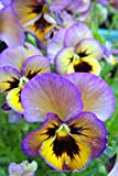 Purple and Yellow Pansy Flower Journal: Lined Notebook/Diary