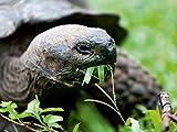 Riesenschildkröte auf der Galapagos Insel Floreana 1000 Teile Puzzle quer (CALVENDO Tiere)