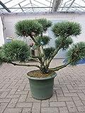 Pinus sylvestris Watereri Formschnitt - Silberkiefer Formpflanze 80-100