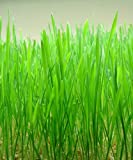 National Gardens Wheat Grass Seeds (Multicolour, Pack of 150)