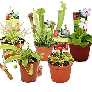 starter set fleischfressende pflanzen 5 pflanzen amazon. Black Bedroom Furniture Sets. Home Design Ideas