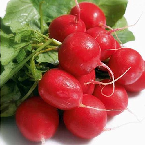 50-graines-semence-radis-bio-rond-rouge-graines-certifiees-fleur-potager
