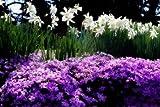 Spring Daffodils II by Hausenflock, Alan...