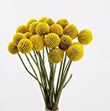 Hu 50Stiele/PCs Natürliche Getrocknete Craspedia Eibe Blumen, 30–40cm hoch für Hochzeit Decro Wohnzimmer Couchtisch Esstisch